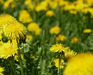 Aprīlī un maijā vācamie ārstniecības augi