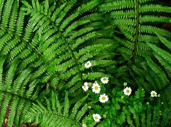 Papardes zieds un 10 baušļi, kas jāievēro, to meklējot