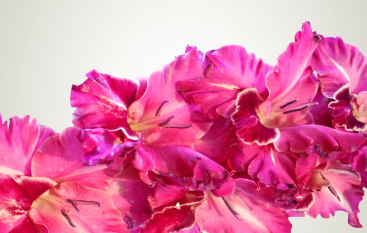 Dabas muzejā krāšņā gladiolu izstāde