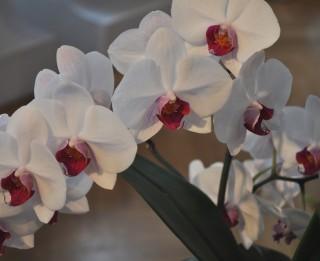 Kā jākopj orhideja, lai tā uzziedētu