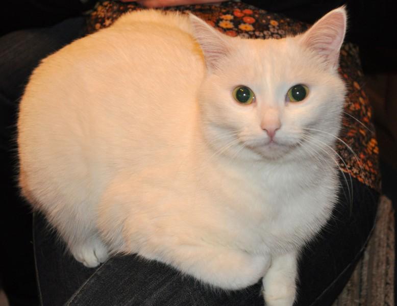 Mazpazīstamas kaķu īpašības. Kaķis- cilvēka līdzgaitnieks vai sargeņģelis
